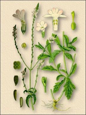 Народные названия: вербена лекарственная, железница, железняк, червонные зирки, суха нехворощ, колдовское растение, святая трава, слеза Юноны.